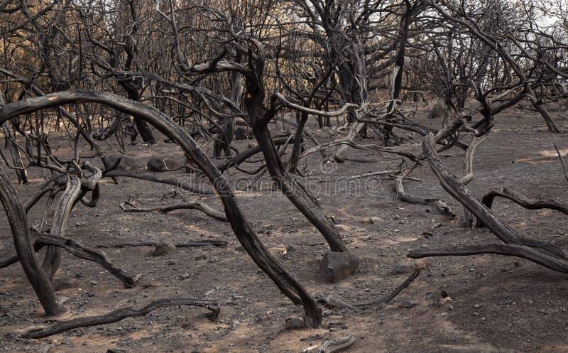 在森林火灾以后的大加那利岛 库存照片