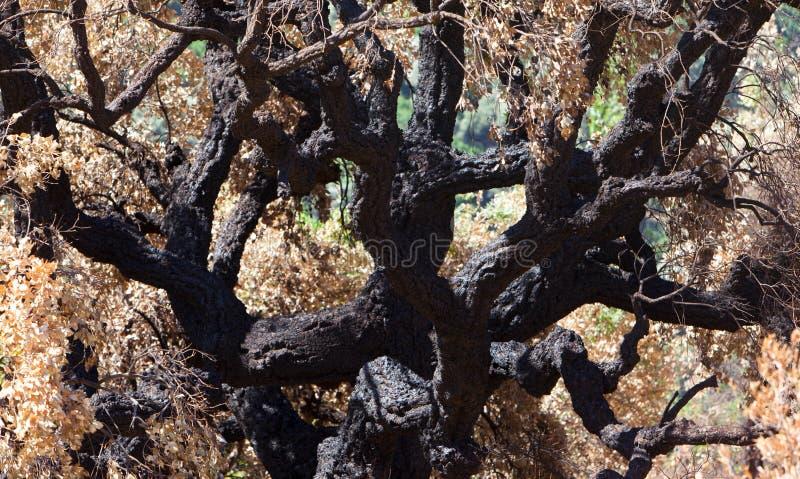 在森林火灾以后的死的树 免版税库存图片