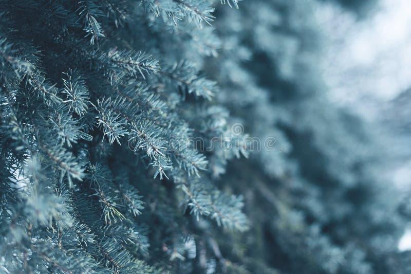 在森林特写镜头的积雪的树杉木分支,结冰冬天 免版税图库摄影