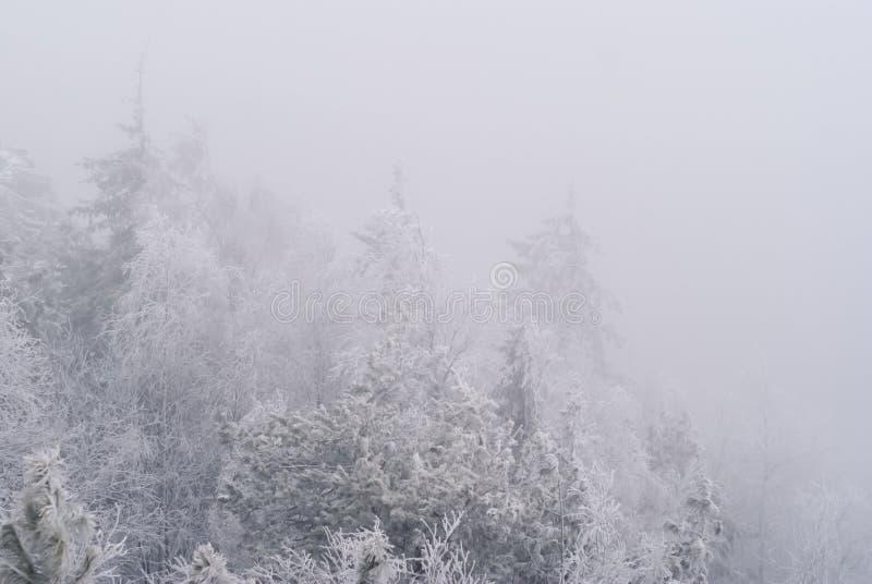 在森林的冷淡的阴霾 库存图片