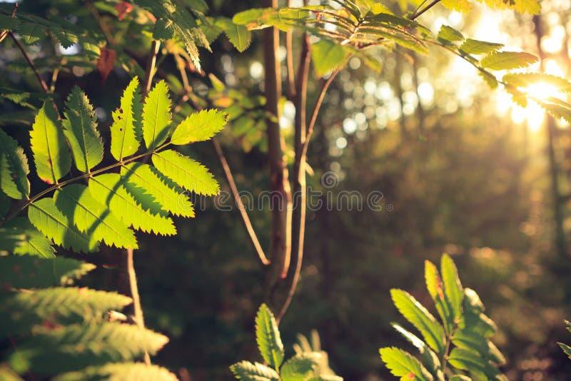 在森林的减速火箭被称呼的由后照的叶子 库存图片