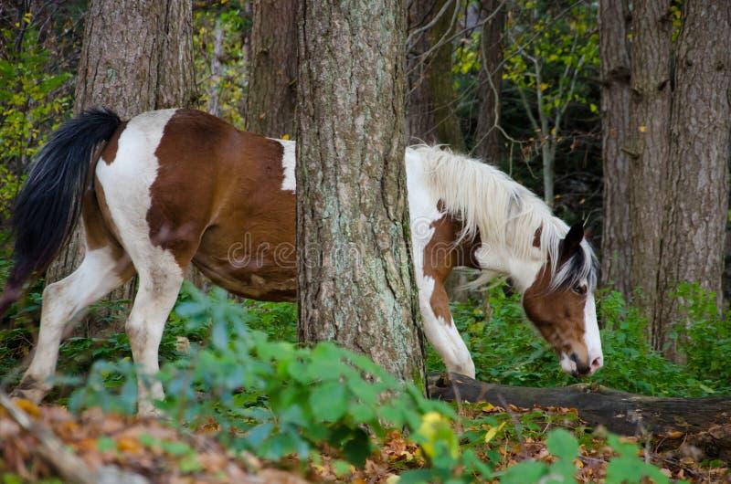 在森林的小的马 库存照片