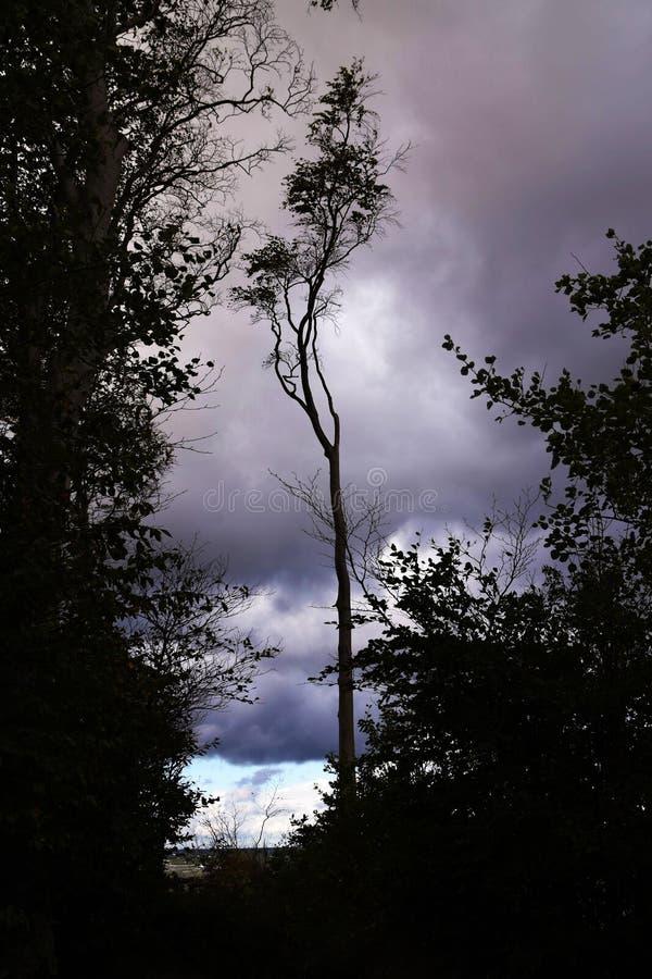 在森林的边缘的骨瘦如柴的山毛榉树作为剪影aga 免版税库存图片