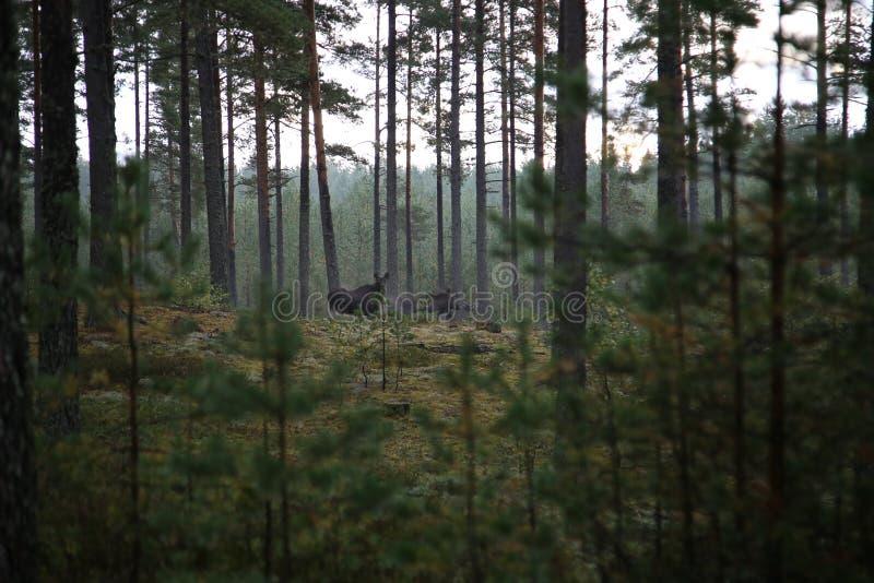 在森林的麋 免版税库存照片