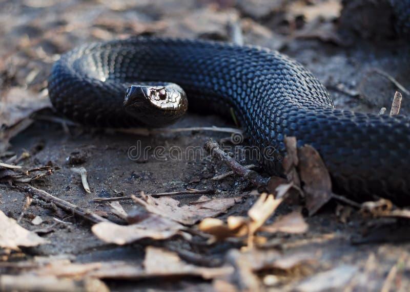 在森林的黑蛇叶子的爬行和看照相机 库存照片