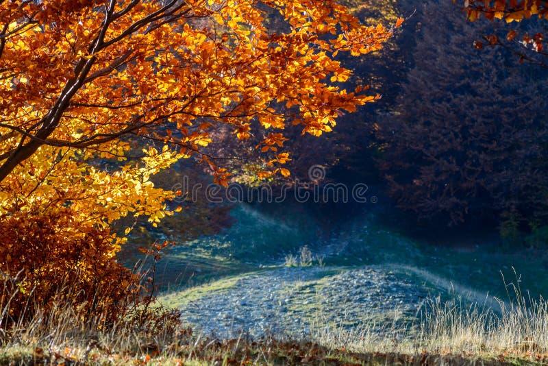 在森林美丽的太阳镭的Sunlighted黄色金黄秋天树 库存照片