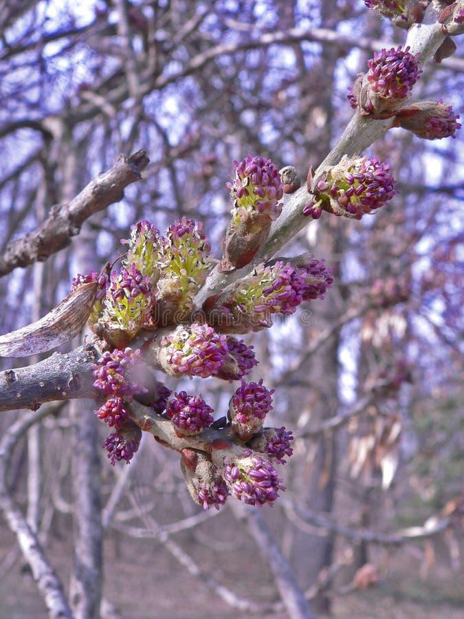 在森林背景的紫色春天开花 免版税库存照片
