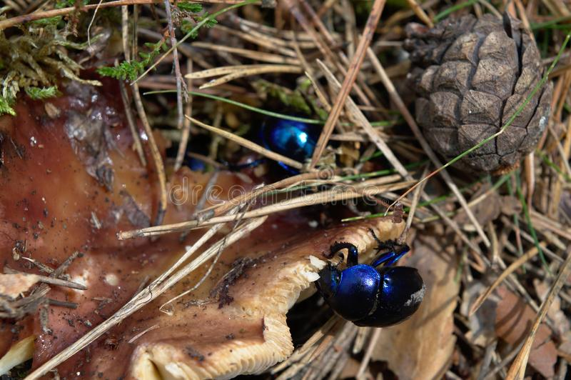 在森林诗歌的Dor甲虫 库存照片