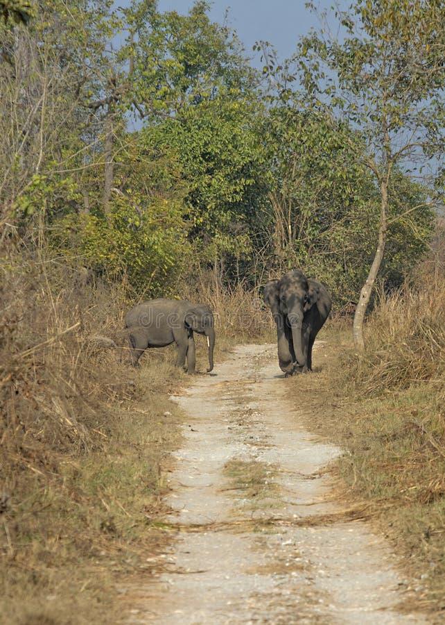 在森林足迹的大象 库存图片