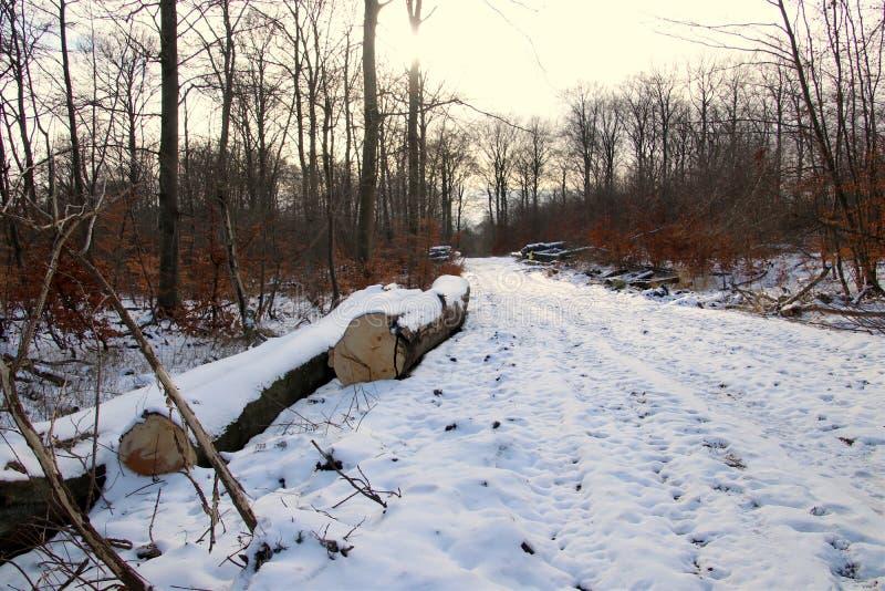 在森林足迹的某一树干 免版税图库摄影