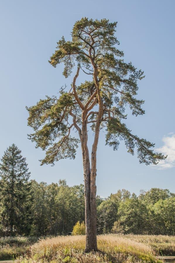 在森林边缘的孤独的杉木 免版税库存图片