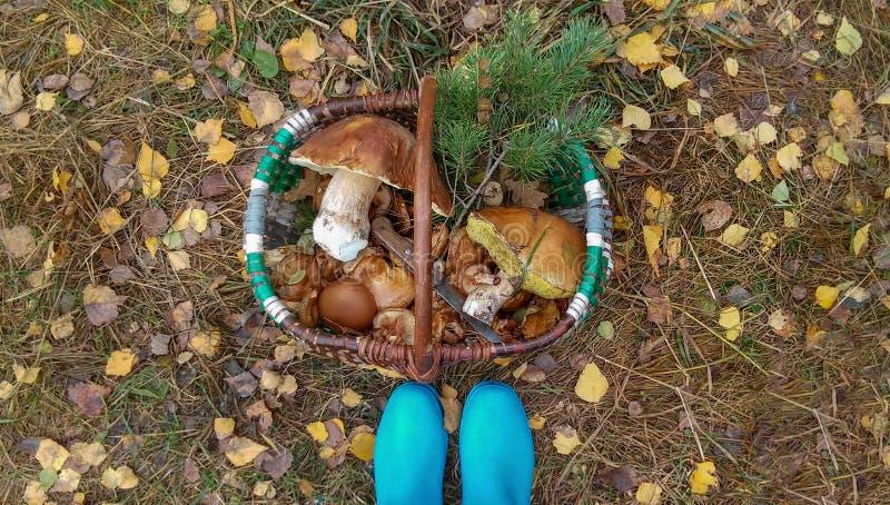 在森林里和常青分支会集的帆布篮蘑菇 免版税库存图片