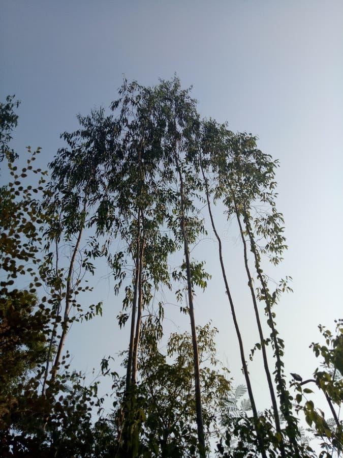 在森林里大和对长的树 免版税库存照片