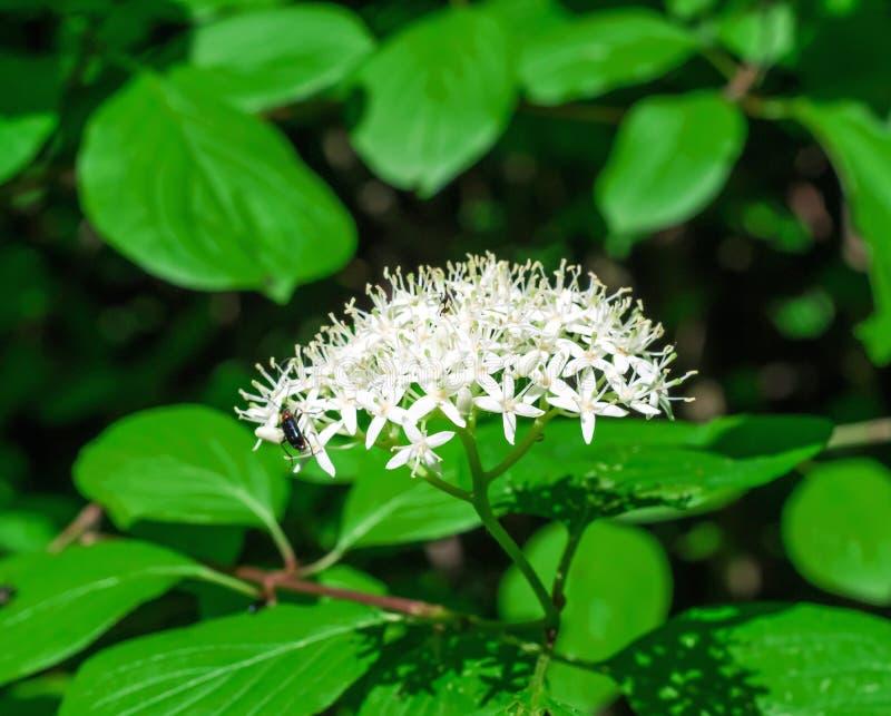 在森林里开花开花伞接骨木浆果,绿色灌木 库存图片
