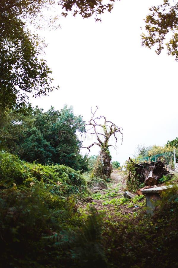 在森林里扭转的年长树 库存照片
