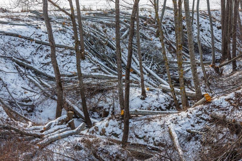 在森林里砍树 免版税库存图片