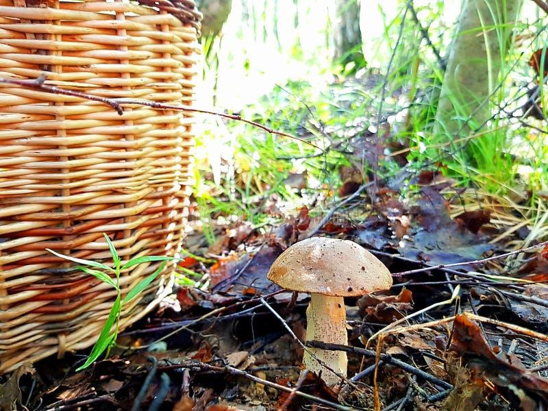 在森林里种植的可食的蘑菇 图库摄影