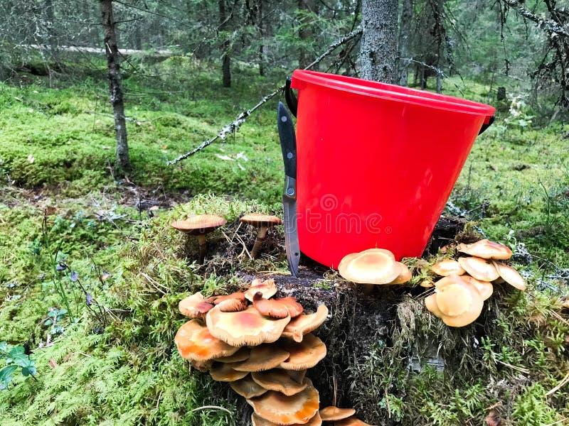 在森林里绊倒用与一个红色桶和一把快刀的很多美丽的鲜美可食的蘑菇在森林 免版税库存图片