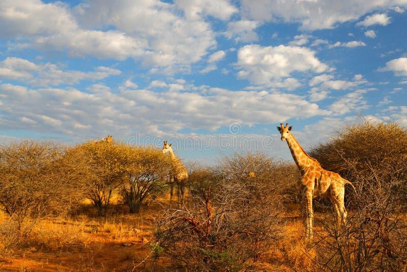 在森林附近的两头长颈鹿,德拉肯斯山脉在背景中 与大动物的绿色植被 r 库存照片