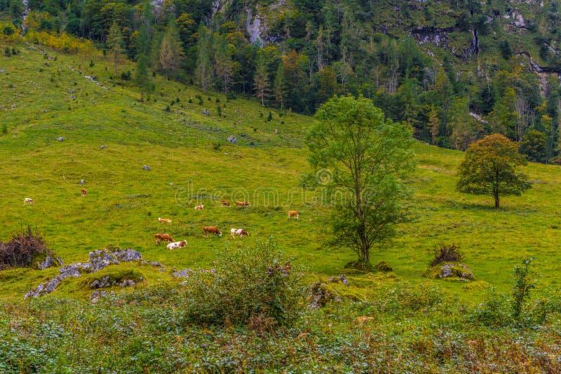 在森林附近的白色和棕色母牛在Koenigssee,克尼格塞,贝希特斯加登国家公园,巴伐利亚,德国 免版税库存图片