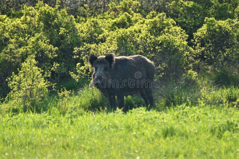 在森林附近的野生生物野公猪 图库摄影