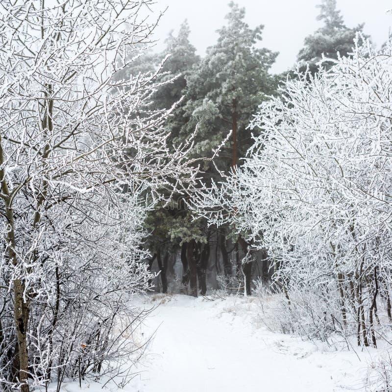 在森林雾,俄罗斯的圣诞节神奇冬天雪道 免版税库存图片