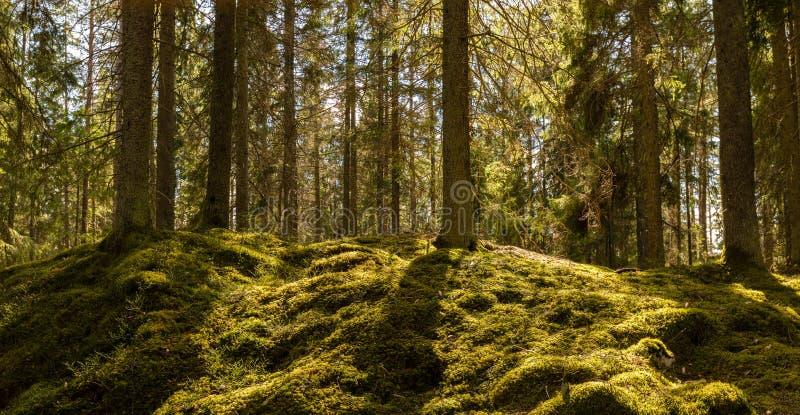 在森林青苔的阳光 库存照片