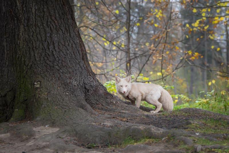 在森林颜色白色的Fox 免版税库存照片