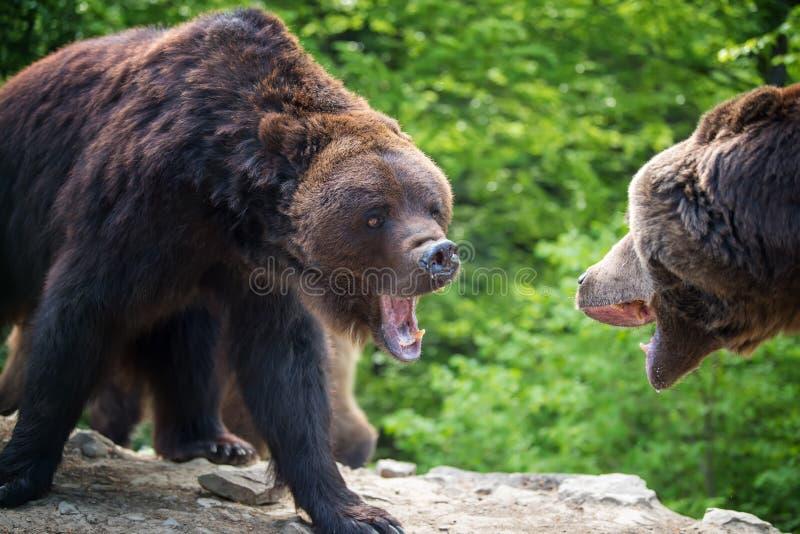 在森林风景的欧洲棕熊 免版税库存图片