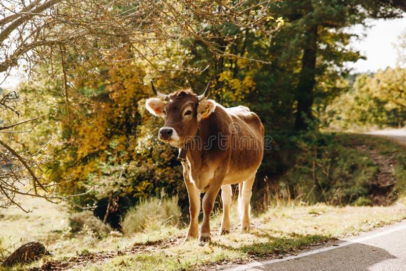 在森林风景的母牛 免版税图库摄影