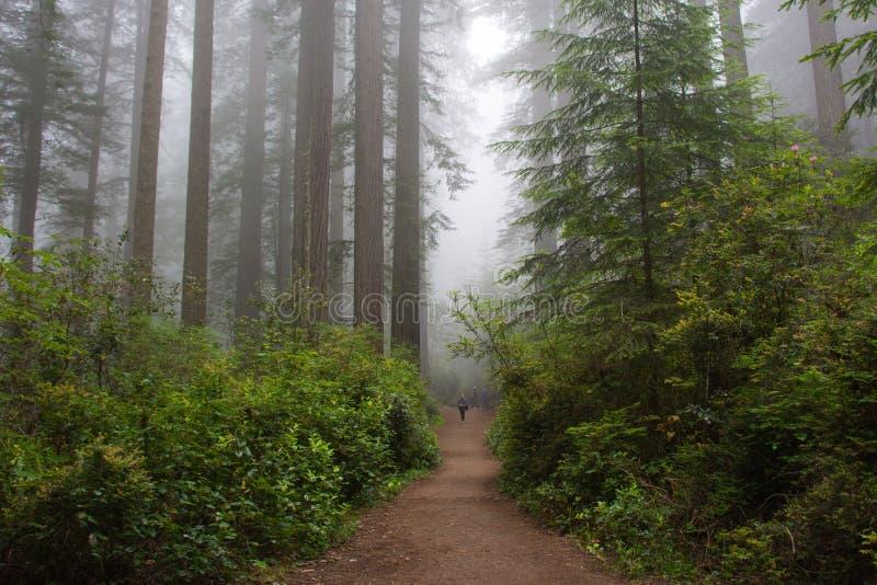 在森林,红木国家公园,加利福尼亚美国里落后 免版税库存照片