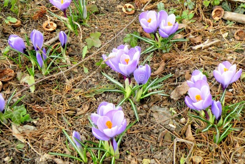 在森林8边缘的被反弹的春天紫罗兰 库存图片