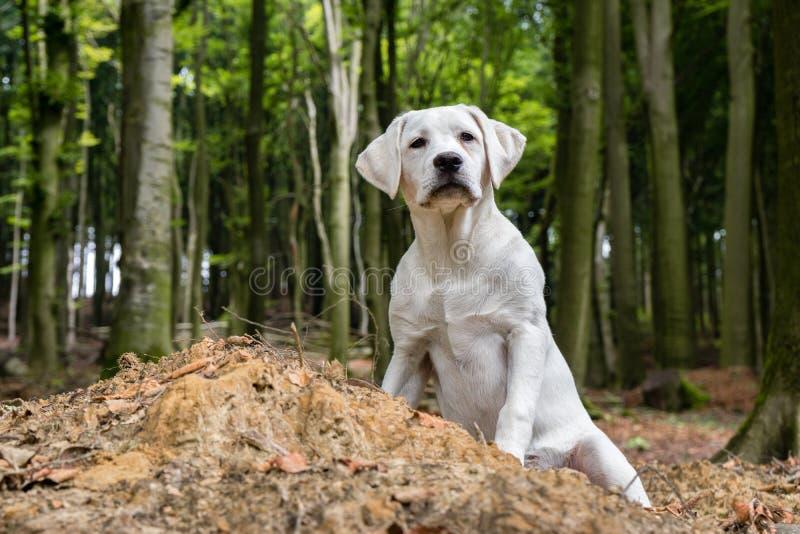 在森林wathing的甜点的幼小拉布拉多狗小狗 库存照片