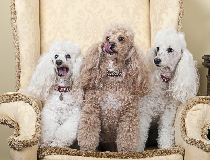 在椅子的三条微型法国长卷毛狗 库存照片
