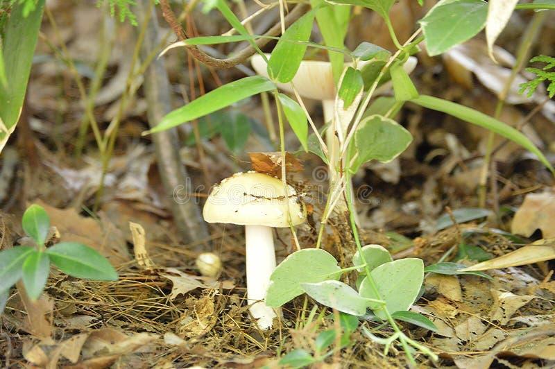 在植物中的唯一蘑菇 图库摄影