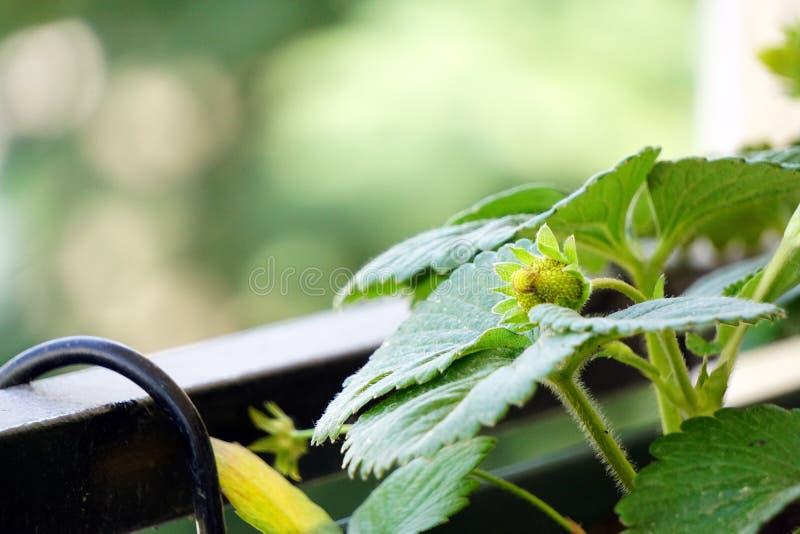 在植物关闭的成熟绿色草莓看法 免版税库存图片