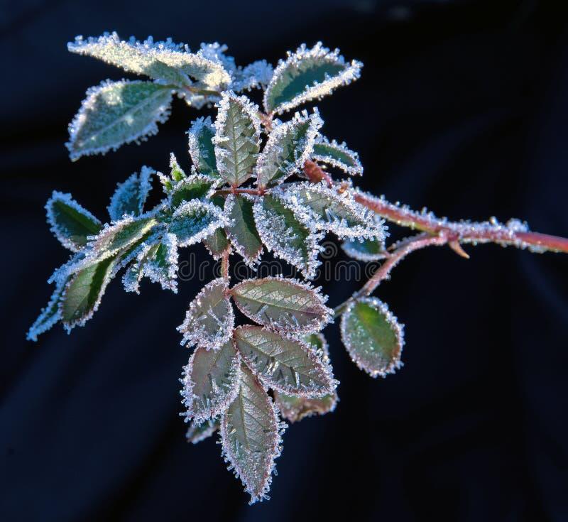 在植物叶子的第一霜 免版税库存图片