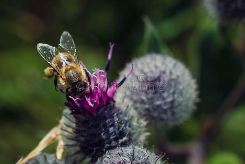 在植物名花的蜂 库存照片