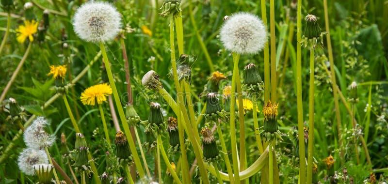 在植物和草背景的白色蒲公英头  蓬松蒲公英 库存图片