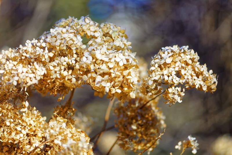 在植物园的干日本八仙花属 橙色头状花序 浅深度的域 库存图片