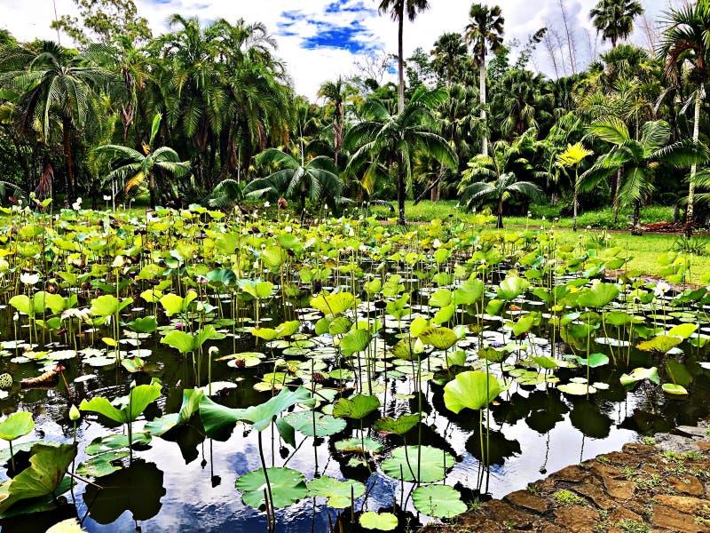 在植物园,毛里求斯海岛的Waterlily 库存照片