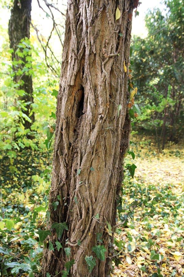 在植物园Macea,阿拉德县-罗马尼亚的树干 图库摄影