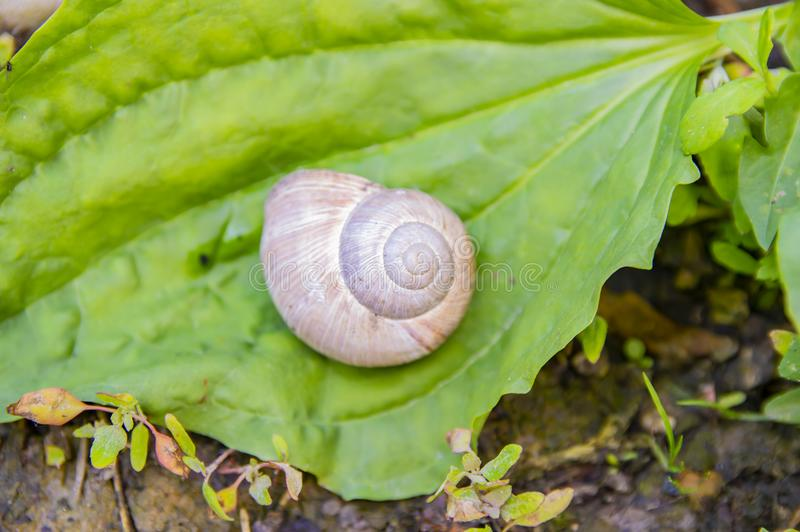 在植物的一片绿色叶子的大白色蜗牛 免版税库存图片