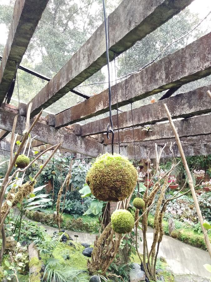 在植物的公园,美丽的蕨增长入一个美丽的球并且垂悬它 免版税图库摄影