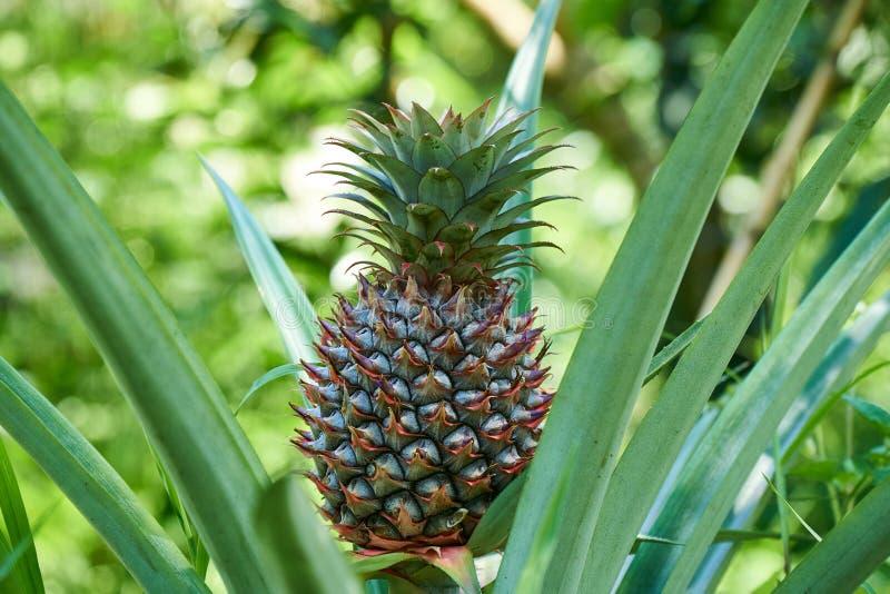 在植物的生长菠萝,从湄公河三角洲的热带水果,越南 好的被弄脏的bokeh 库存照片