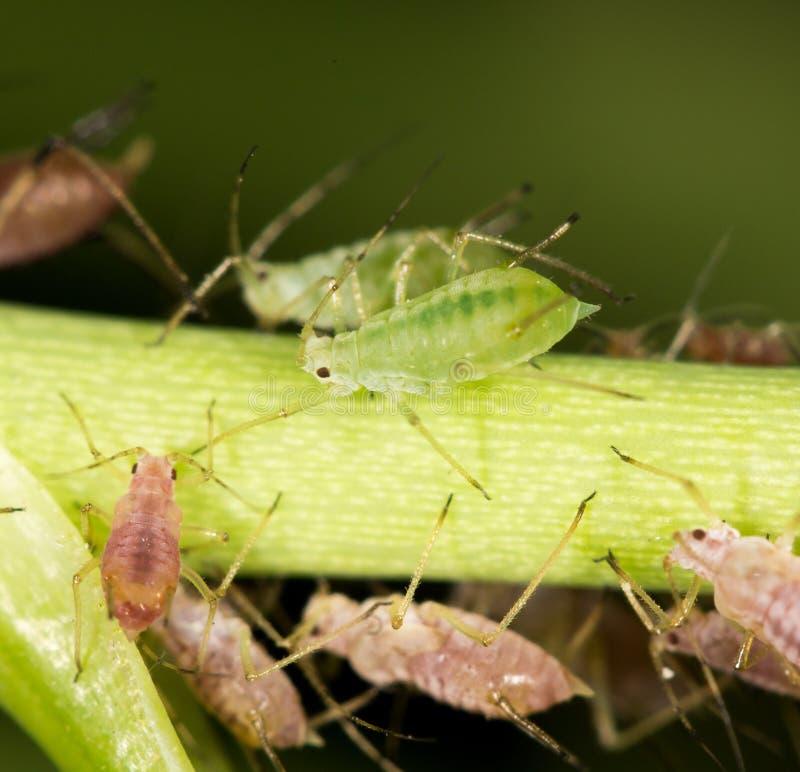 在植物的蚜虫 关闭 库存图片