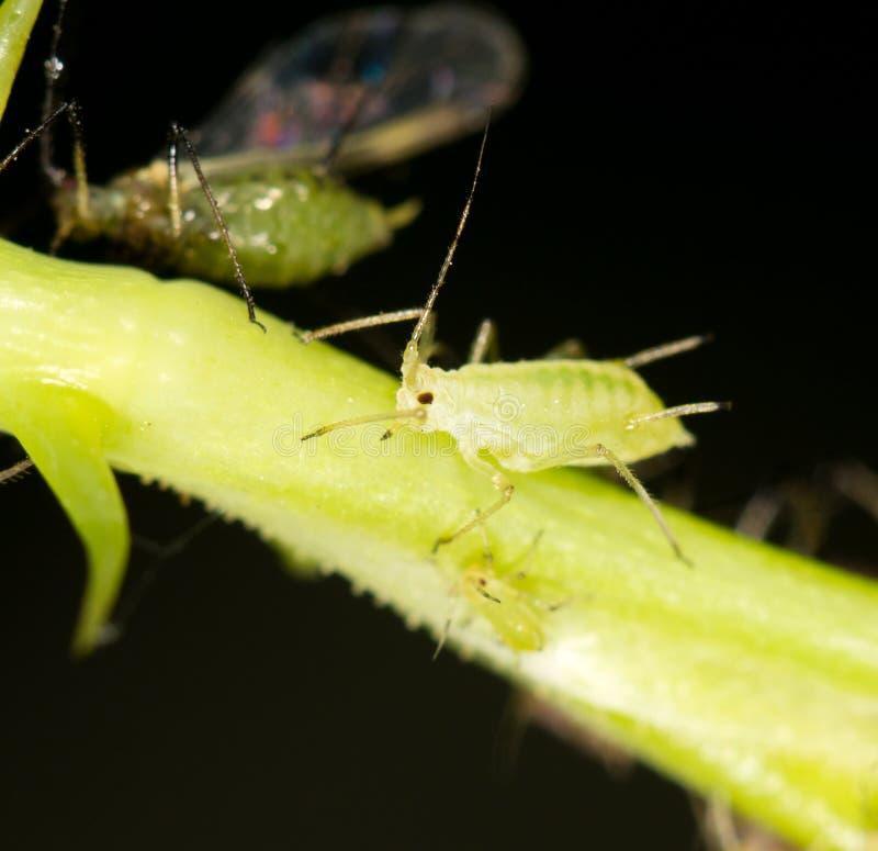 在植物的蚜虫 关闭 库存照片