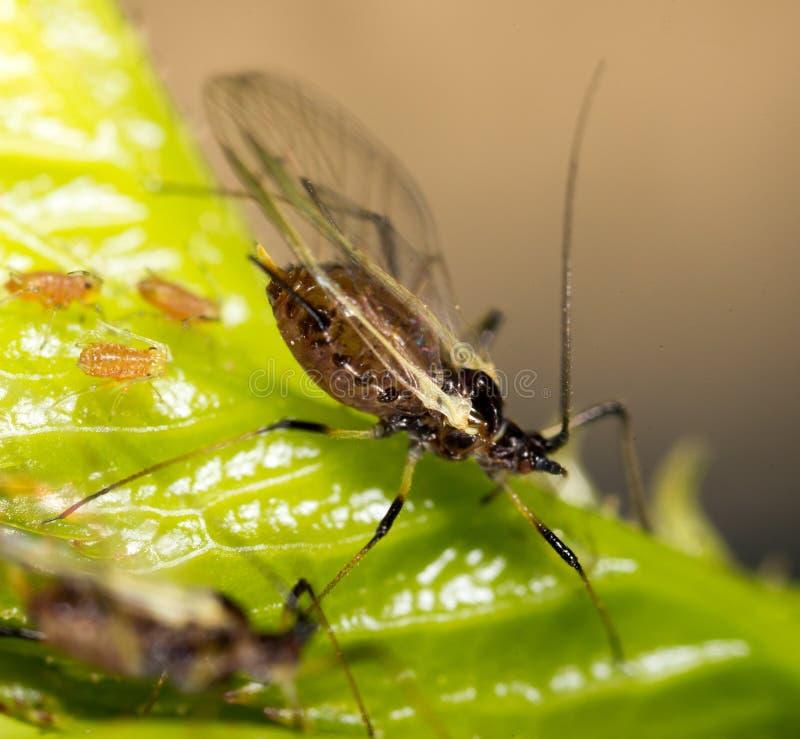 在植物的蚜虫 宏指令 库存图片
