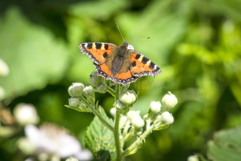 在植物的蛱蝶 图库摄影