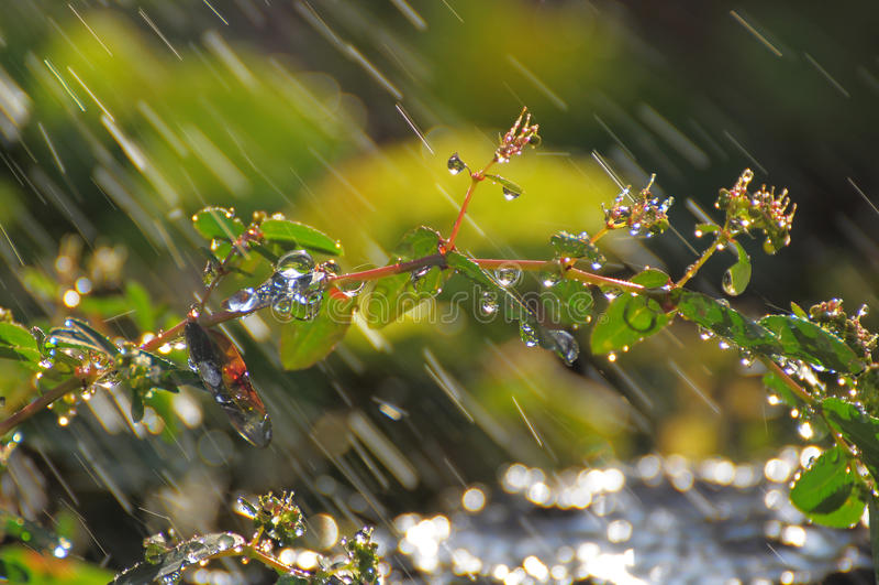 在植物的雨珠我的庭院的 图库摄影